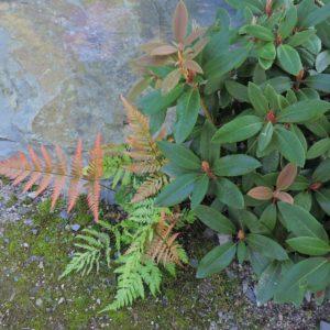 Rhododendron met Dryopteris erythrosora