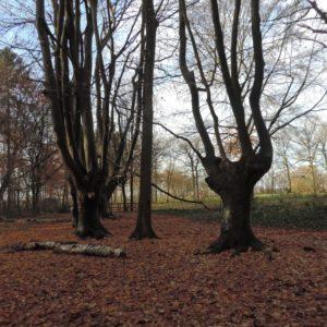 oude doorgegroeide beukenhaag: de olifantbomen