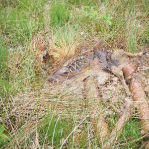een dode ree, zou de wolf hier zijn langsgeweest?