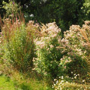ruige inheemse planten zoals kattenstaart en leverkruid trekken ook in de nazoimer nog vlinders en bijen