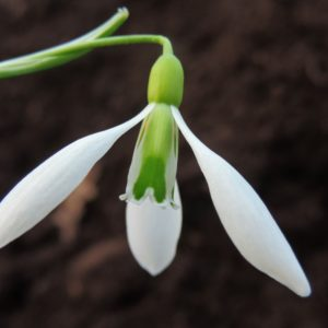 Galanthus 'Ding Dong'
