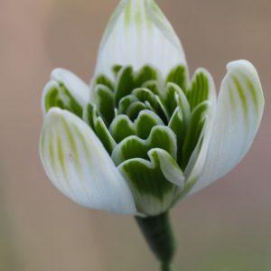 Galanthus 'Jacquenetta'
